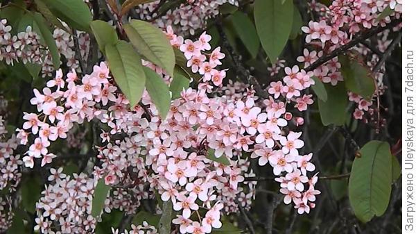 Черемуха обыкновенная Colorata. Фото с сайта youtube.com