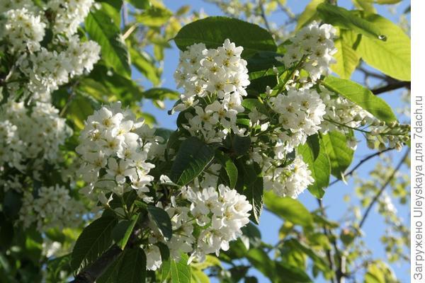 Черемуха обыкновенная Albertii. Фото с сайта chewvalleytrees.co.uk
