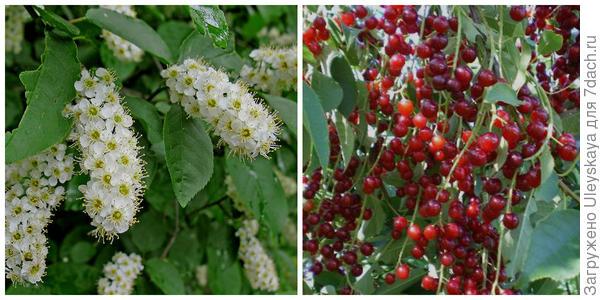 Черемуха виргинская, соцветия. Фото с сайта plantarium.ru. Её плоды. Фото с сайта pervorod.ru