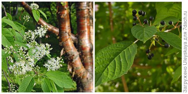 Черемуха Маака в цветении. Фото с сайта ecospro.ru. Она в плодоношении. Фото с сайта plantarium.ru