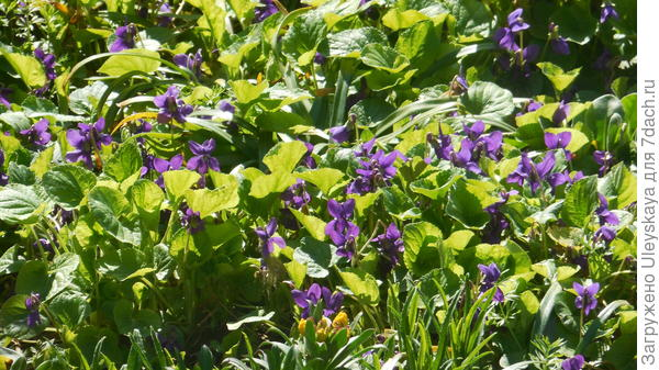 Фиалка душистая как почвопокровное растение, фото автора