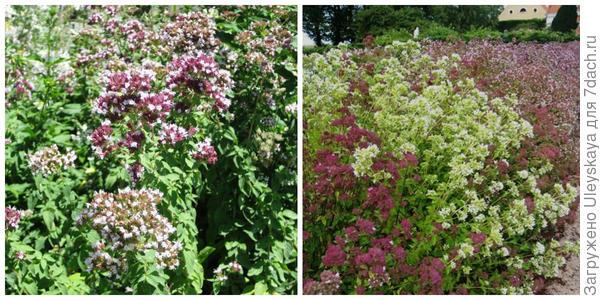 Душица обыкновенная в цветении, фото автора. Бордюр из неё в цветении. Фото с сайта pinterest.com