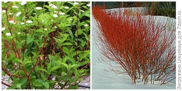 Кизил отпрысковый в цветении и зимой. Фото с сайта lakeregionnursery.com