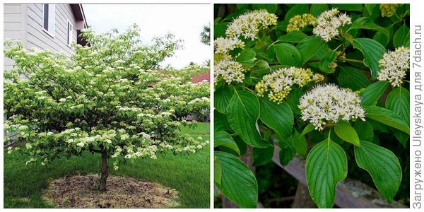 Кизил очереднолистный, внешний вид. Фото с сайта extension.iastate.edu. Его цветение. Фото с сайта plants.ces.ncsu.edu
