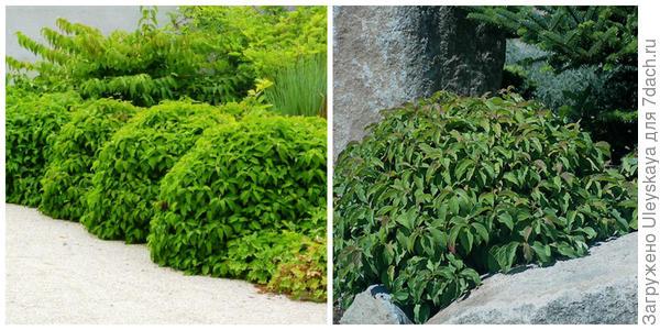 Кизил отпрысковый Kelseyi в бордюре летом. Фото с сайта gardenbreizh.org. Он же – солитер среди камней. Фото с сайт landscapeplants.oregonstate.edu