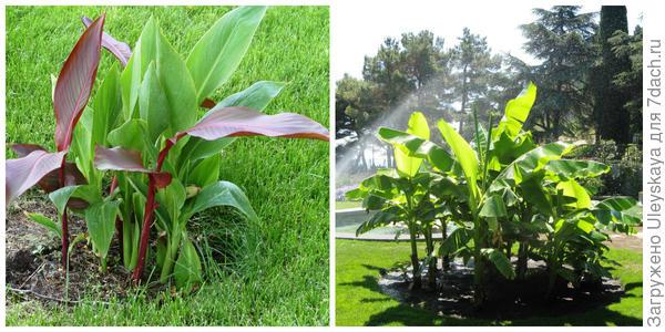 Канна садовая, фото автора. Банан Басио, фото автора