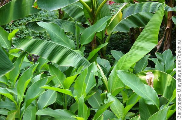 Попробуйте отличить канну и банан в совместной посадке, фото автора