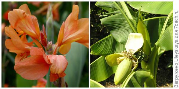 Канна садовая сорт Отблеск заката, фото автора. Цветет банан, фото автора.
