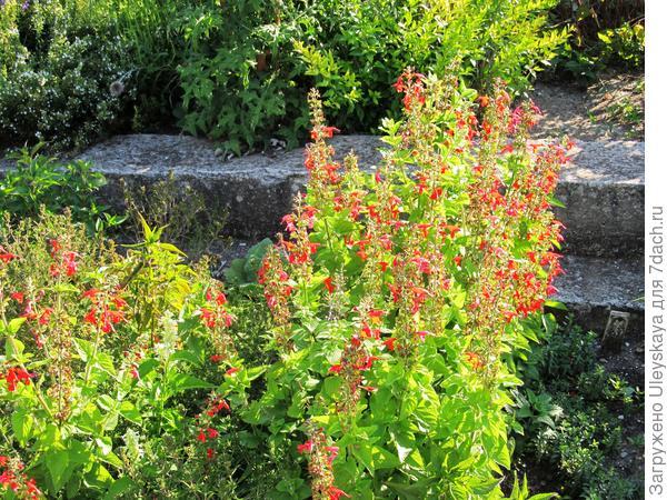 Шалфей огненно-красный у лестницы, фото автора