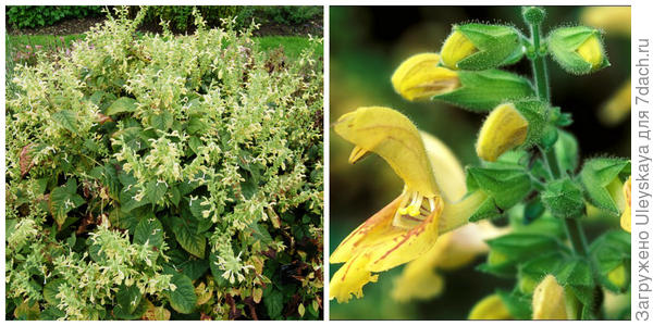 Шалфей клейкий, внешний вид. Фото с сайта davisla.wordpress.com. Его цветки. Фото с сайта uniprot.org