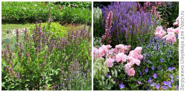 Шалфеи в композиции, фото автора. Шалфеи в цветнике. Фото с сайта gardenia.net.