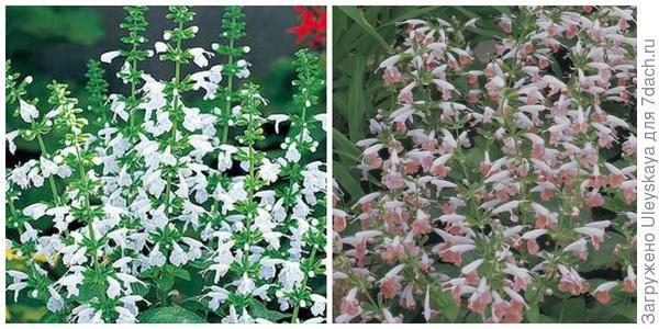 Шалфей огненно-красный Snow Nymph. Фото с сайта hardyplants.com. Шалфей огненно-красный Summer Jewel Pink. Фото с сайта fbts.com