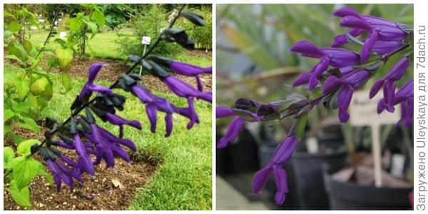 Шалфей гуарани, его цветки. Фото с сайта thedirtwitchchronicles.com и  palmaris.org