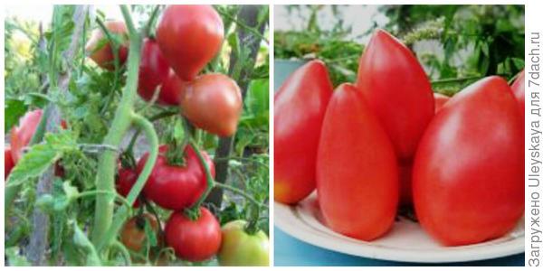 Томат Батяня. Фото с сайта womanadvice.ru. Его плоды крупным планом. Фото с сайта moya-dacha.com.ua