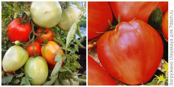 Томат Сахарный гигант. Фото с сайта tomatland.ru. Его плоды крупным планом. Фото с сайта 1semena.ru