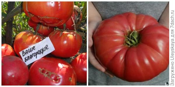 Томат Ваше благородие. Фото с сайта vse-semena.com. Плод. Фото с сайта farpost.ru