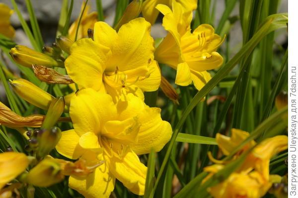 Лилейник гибридный Yellow Bouquet