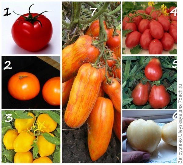 Различные формы плодов томатов. Фото с сайта ogorod.ru