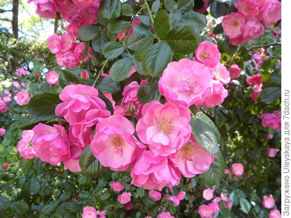 Полуплетистая роза Angelica