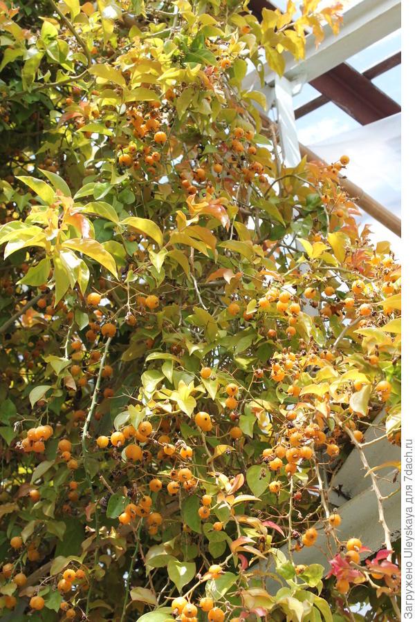 Переския шиповатая в плодоношении