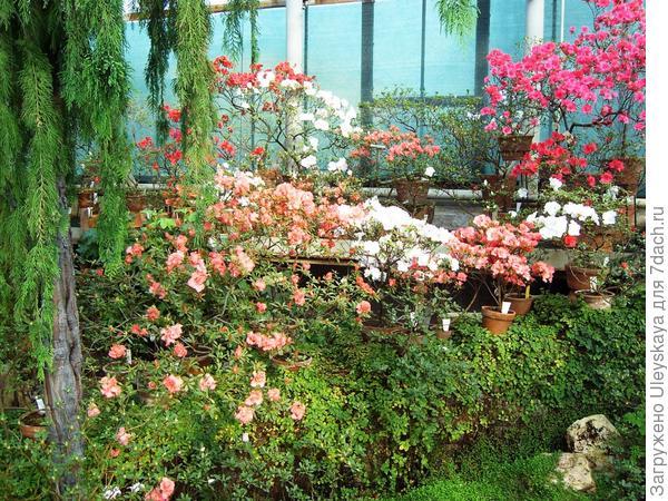 Цветут рододендроны или азалии