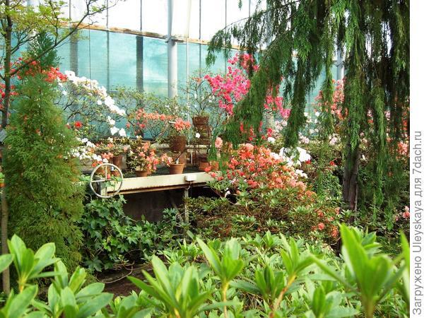 Цветущие рододендроны или азалии в БИНе