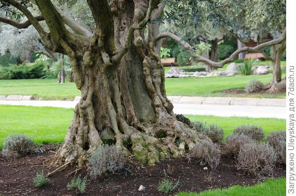 Комлевая часть 200-летней маслины
