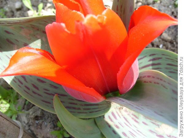 Тюльпан садовый сорт 'Princesse Charmante'