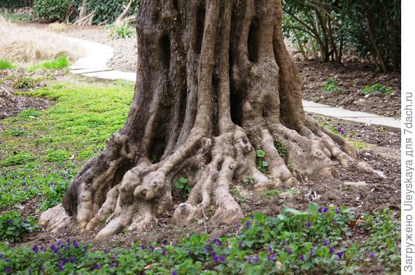 Старая маслина в Никитском ботаническом саду