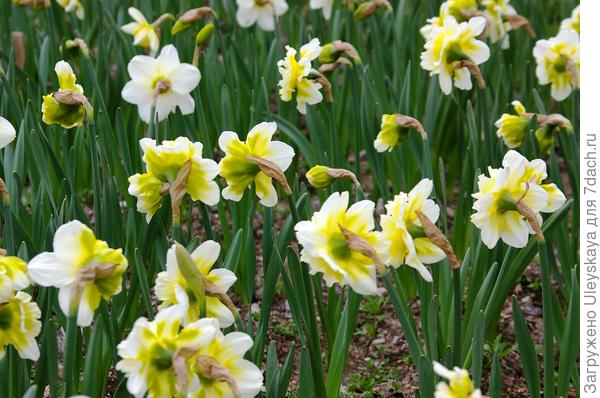 Цветут махровые нарциссы 18 марта