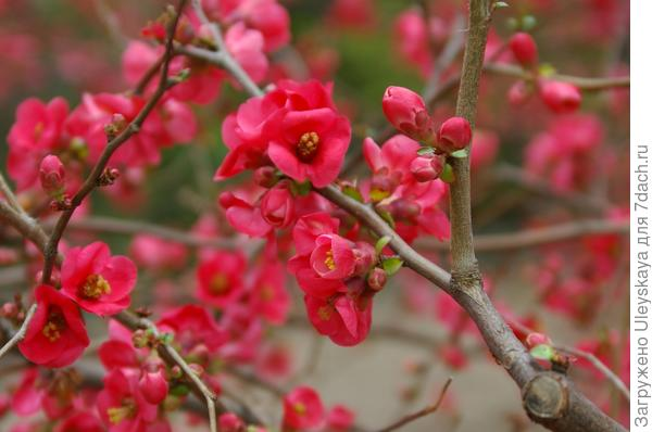 Ранневесенняя красавица - айва японская