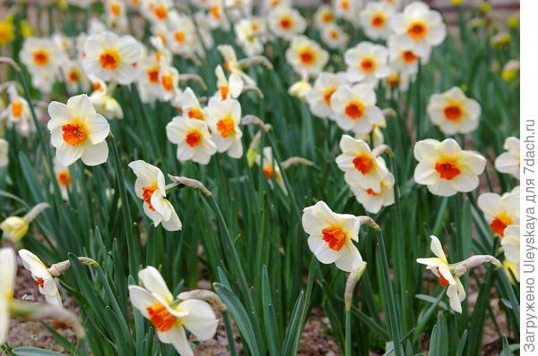 Нарциссы 18 марта