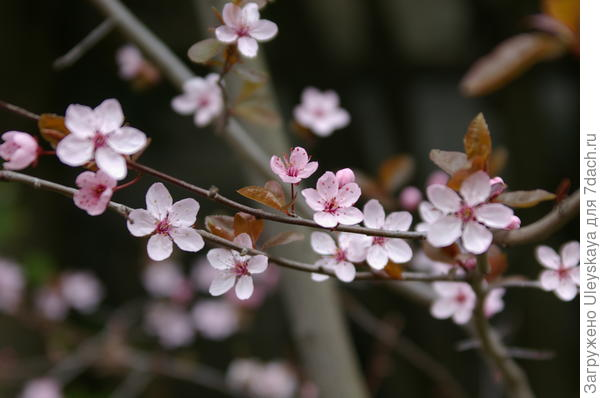 Цветет слива Писсарда