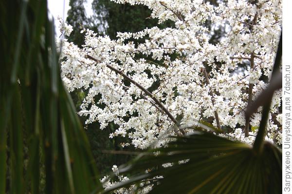 Деревце алычи в цветении