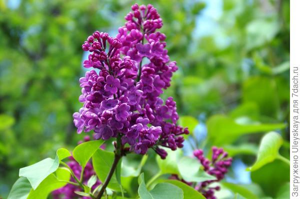 Цветет и благоухает сирень обыкновенная, фото автора