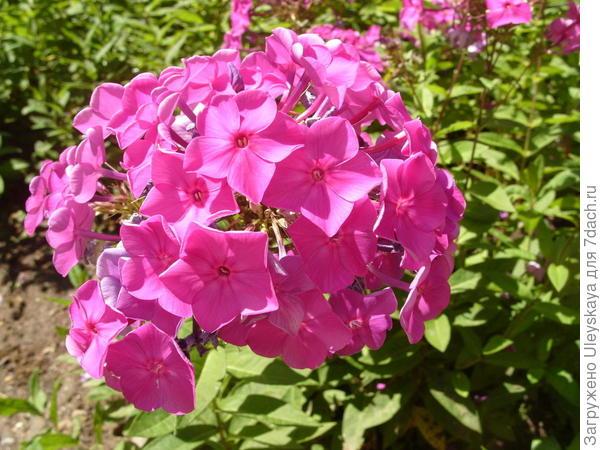 Цветет и пахнет флокс метельчатый, фото автора