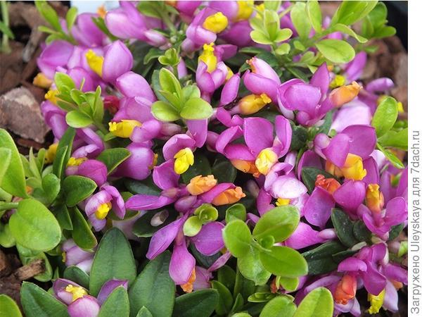 Цветет и благоухает истод самшитовый Purple Passion. Фото с сайта ashwoodnurseries.com