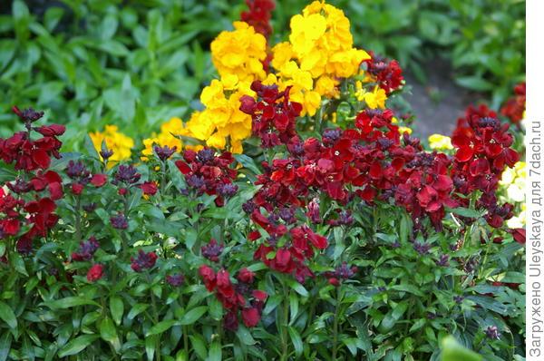 Цветет и благоухает лакфиоль или желтофиоль, фото автора