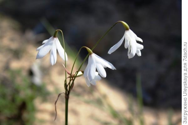 Белоцветник волосовидный. Фото с сайта floravascular.com