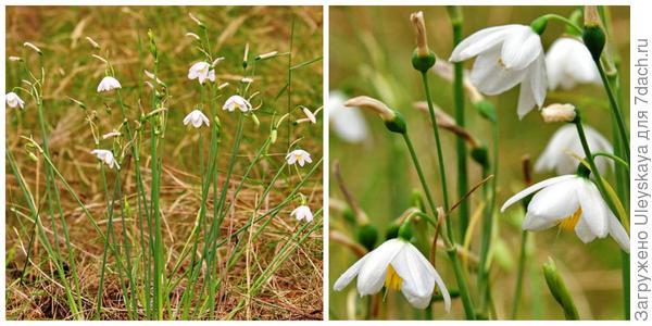 Белоцветник Валентина, внешний вид и цветки крупным планом. Фото с сайта florasilvestre.es