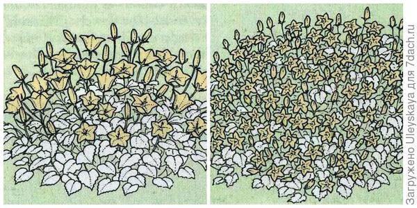 Подушковидные и стелющиеся формы низких колокольчиков. Рисунки даны по Encyclopedia of garden plants.