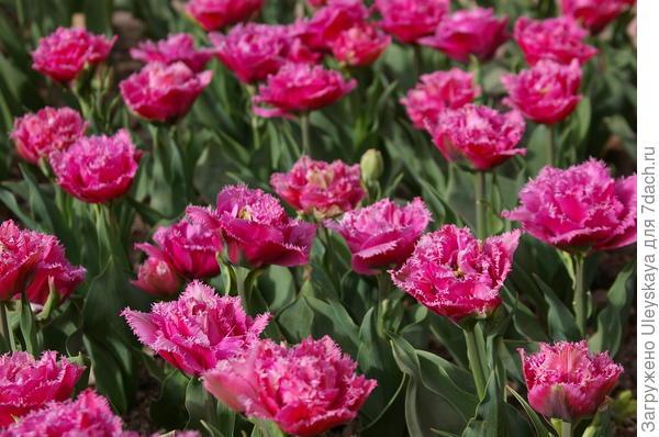 Тюльпан садовый сорт Kingston
