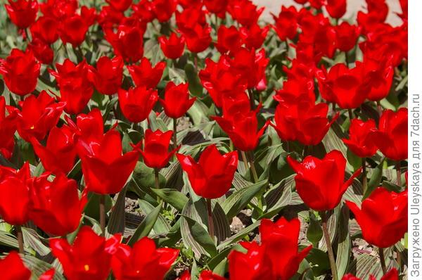 Цветут ранние тюльпаны