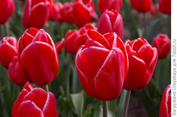 Тюльпан садовый сорт Ana Krasavitsa (Анна красавица)