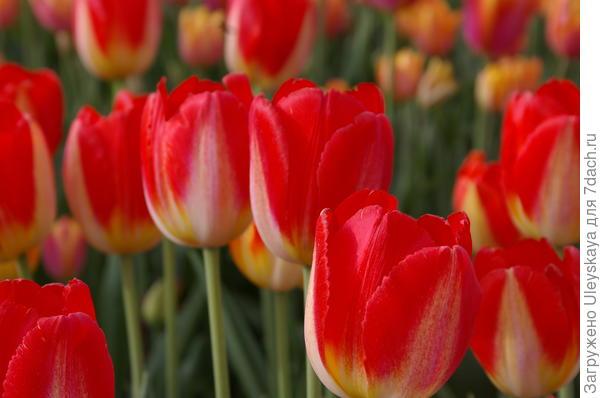 Тюльпан садовый сорт Charade