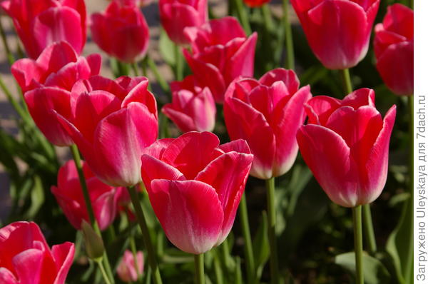 Тюльпан садовый сорт-новинка Playgirl