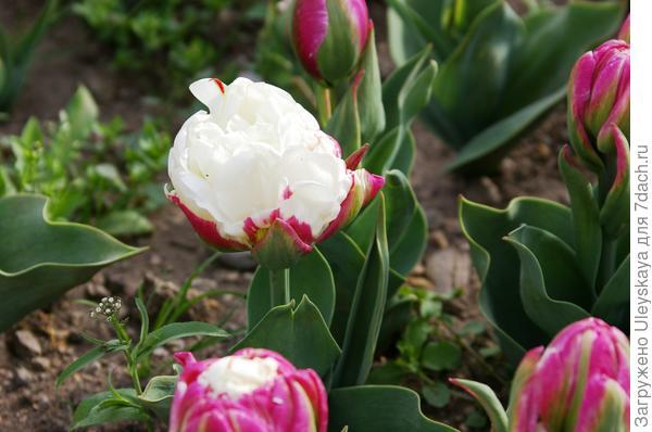 Тюльпан садовый сорт Ice Cream