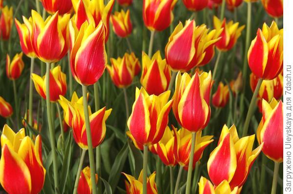 Тюльпан садовый сорт Ballade Dream