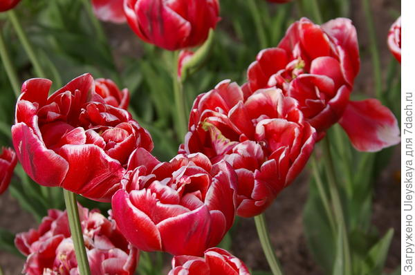 Тюльпан садовый сорт Horizon