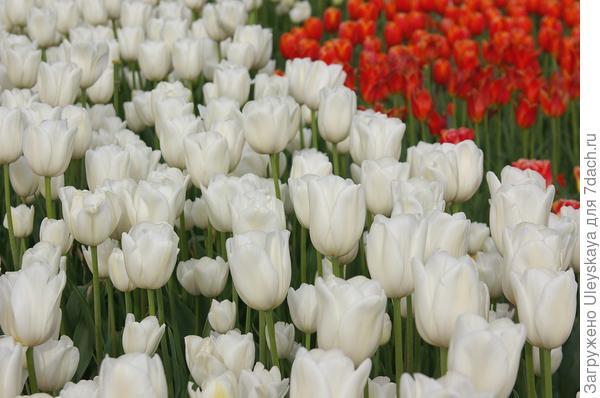 Цветут тюльпаны в Никите